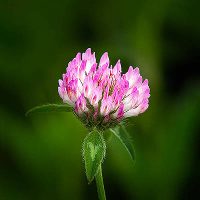 Clover Print by Bill Wakeley