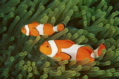 Clown Anemonefish Photograph - Clown Anemonefish Amphiprion Ocellaris by Mark Spencer