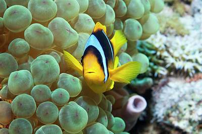 Aquatic Life Photograph - Clownfish In Anemone by Georgette Douwma