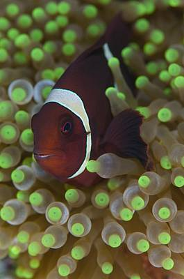 Clown Anemonefish Photograph - Clownfish In Anemone by Science Photo Library