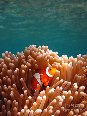 Nemo Photograph - Clownfish In Coral Garden by Fototrav Print