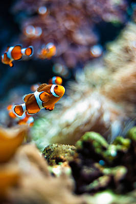 Nemo Photograph - Clownfish  by Ulrich Schade