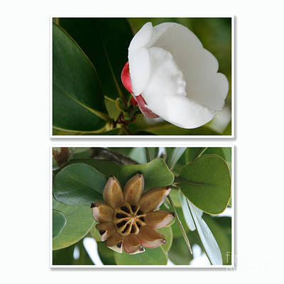 Clusia Rosea - Clusia Major - Autograph Tree - Maui Hawaii Print by Sharon Mau