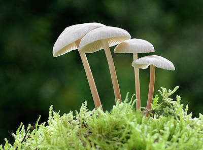Agaricales Photograph - Clustered Toughshank by Nigel Downer