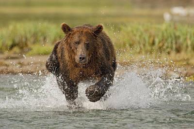 Coastal Grizzly Boar Fishing Print by Kent Fredriksson