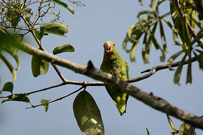 Parakeet Photograph - Cobalt-winged Parakeet by Dr. Gilbert S. Grant