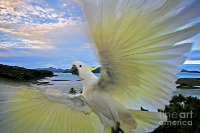 Cockatoo Displaying Wings Original by Heng Tan