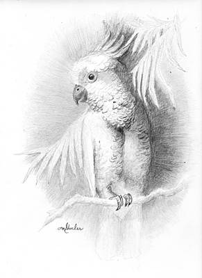 Cockatoo Drawing - Cockatoo Pencil Study by Minnie W Shuler