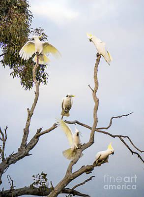 Cockatoo Photograph - Cockatoos - Canberra - Australia by Steven Ralser