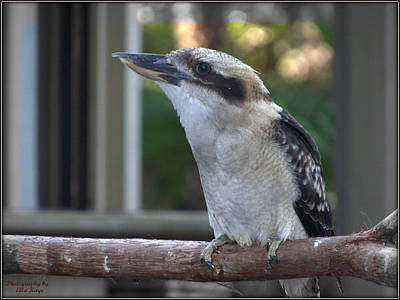 Kingfisher Digital Art - Cocoa The Laughing Kookaburra - Photo Bird Art by Ella Kaye Dickey