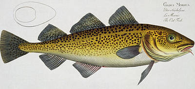 Angling Drawing - Cod by Andreas Ludwig Kruger