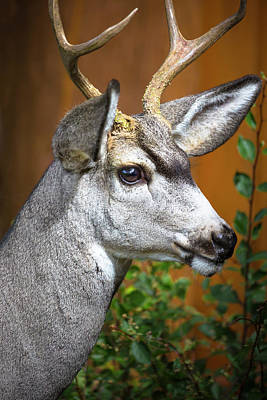 Cody, Wyoming Close-up Of A Mule Deer Print by Janet Muir