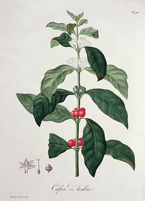 Berry Drawing - Coffea Arabica From Phytographie by L.F.J. Hoquart