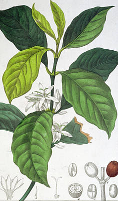 Green Beans Painting - Coffea Arabica by Pancrace Bessa