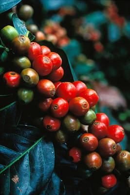 Red Fruit Photograph - Coffee Plant by Anonymous