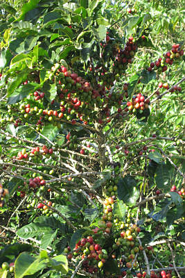 Coffee Plantations In Costa Rica South America Fruit Season With Ready Hands To Teach Travellers All Print by Navin Joshi