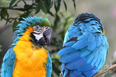 Macaw Photograph - Cold Shoulder by James Brunker