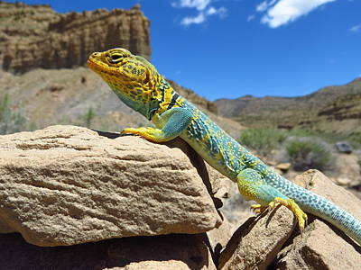 Salamanders Digital Art - Collared Lizard by Casey Hodnett