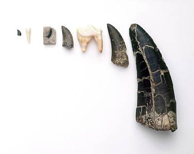 Collection Of Carnivores' Teeth Print by Dorling Kindersley/uig