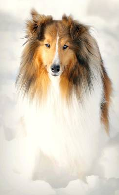 Dog In Snow Photograph - Collie  by Diana Angstadt