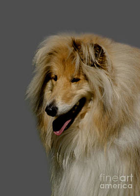Dog Pics Photograph - Collie Dog by Linsey Williams