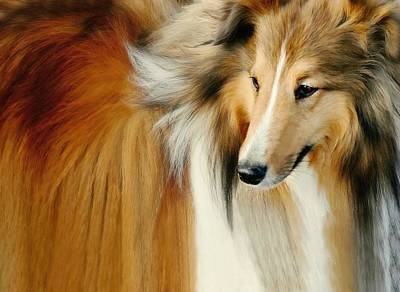 Collie Standard Print by Diana Angstadt