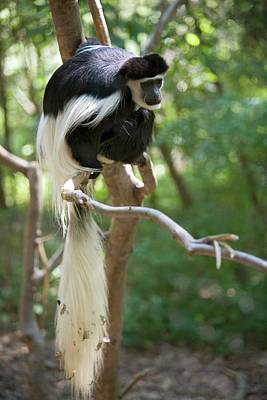 Colobus Photograph - Colobus Monkey In A Tree by Jim West