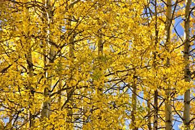 Colorado Fall Aspens 10 Print by Angelina Vick