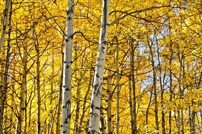 Colorado Fall Aspens 8 Print by Angelina Vick