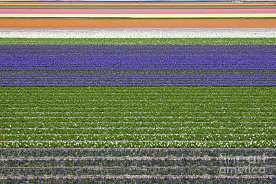 Dutch Hyacinth Photograph - Colorful Fields Of Tulips And Hyacinth In Netherland. by Kiril Stanchev