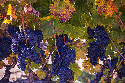 Grapevines Photograph - Colorful Harvest by Garry Gay