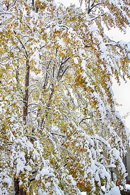 Snow Photograph - Colorful Maple Tree In The Snow by James BO  Insogna