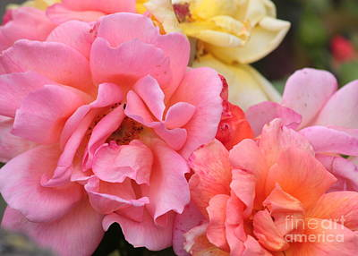 Colorful Roses Photograph - Colorful Roses by Carol Groenen