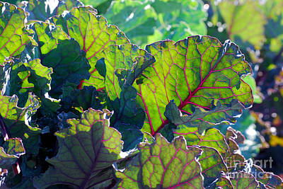 Lettuce Digital Art - Colorful Swiss Chard by Nancy Mueller