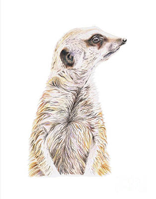 Meerkat Drawing - Colour Meerkat by Elizabeth Lock