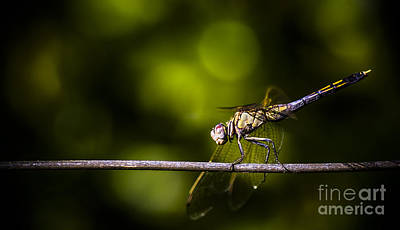 Tightrope Photograph - Colourful Australian Dragonfly At Insect Crossing by Jorgo Photography - Wall Art Gallery