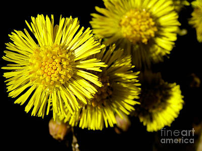 Spring Photograph - Coltsfoot Flowers In Sunlight by Kerstin Ivarsson