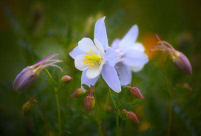 State Flowers Photograph - Columbine by Darren  White