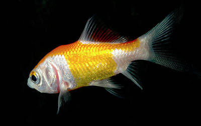 Goldfish Photograph - Comet Goldfish by Nigel Downer