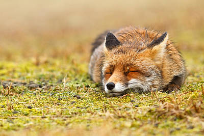 Comfortably Fox Print by Roeselien Raimond