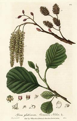 Common Alder Tree Print by Florilegius/natural History Museum, London