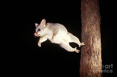 Brushtail Photograph - Common Brush-tailed Possum by BG Thomson