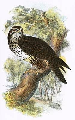 Falcon Drawing - Common Buzzard by English School