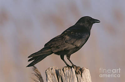 Crow Photograph - Common Crow, New Jersey by Art Wolfe