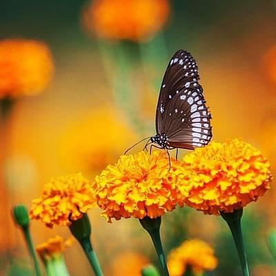 Flower Photograph - Common Crow On Marigold by Hitendra SINKAR