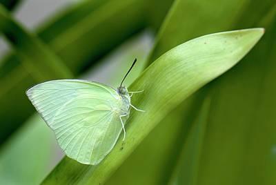 Pomona Photograph - Common Emigrant Butterfly by K Jayaram