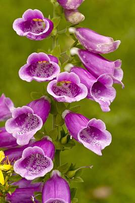 Common Foxglove (digitalis Purpurea) Print by Science Photo Library
