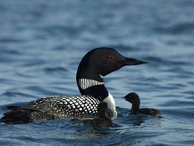 Peterson Nature Photograph - Common Loon Family by James Peterson