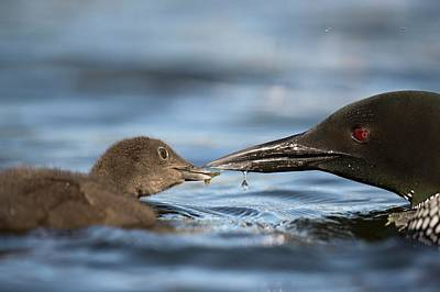 Common Loon Photograph - Common Loon Feeding Chick by Dr P. Marazzi