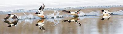 Ducks In Flight Photograph - Common Merganser Flight by Bill Wakeley